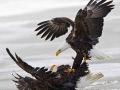 Bald Eagle, Farmington Bay, Utah, USA