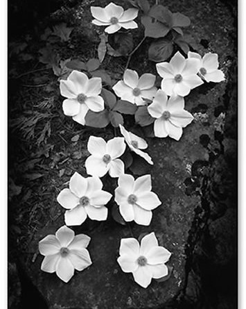 Dogwood_Blossoms